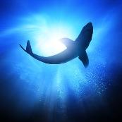 Rekin giełdowy